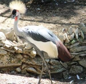 East_African_Crown_Crane