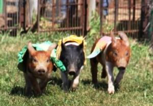 Pig_races