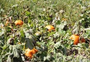 pumpkin_patch