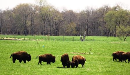 Wildlife Prairie Park: Where the Bison Roam