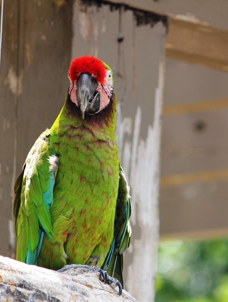 Parrot at Henry Doorly Zoo, Omaha