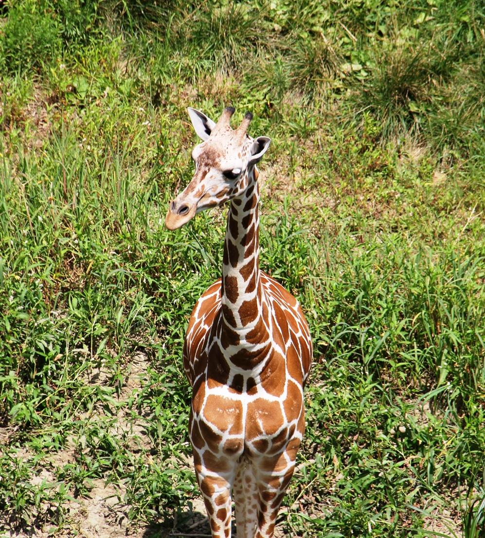 Giraffe as seen from the Skyfari
