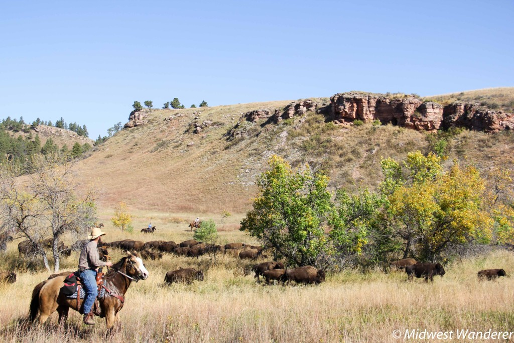 Citizen riders rounding up bison