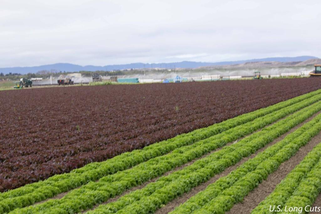 Lettuce fields, Ag Venture Tours