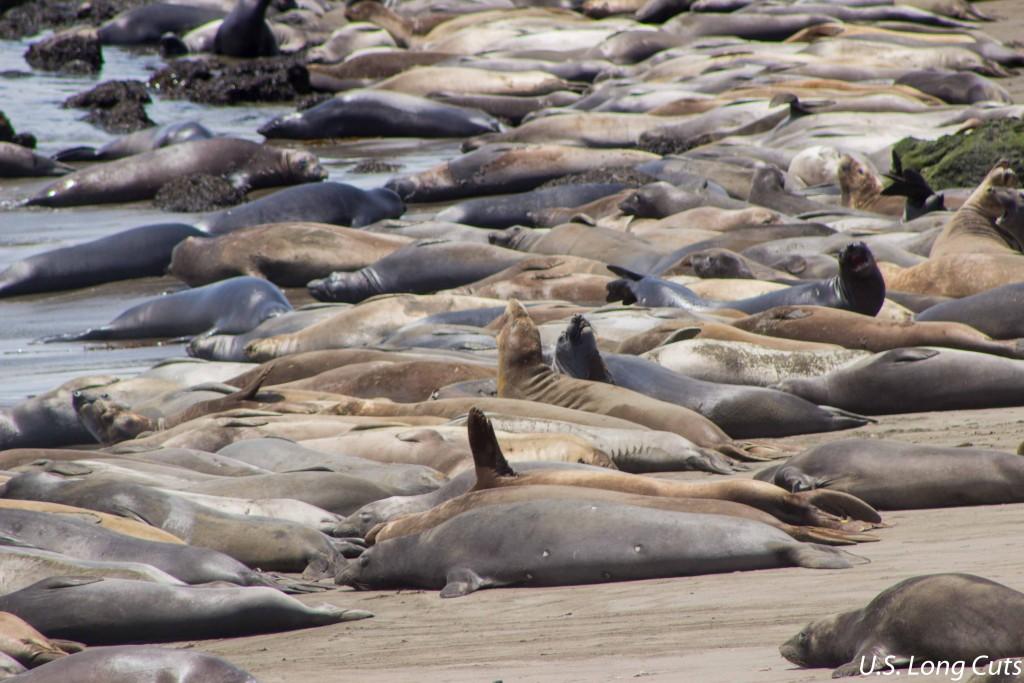 viewing elephant seals near san simeon midwest wanderer