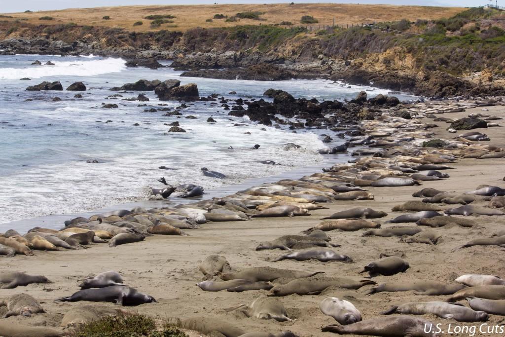 elephant seals on san simeon beach