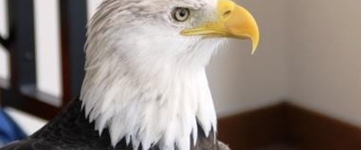 3 Great Places in Illinois for Eagle Watching