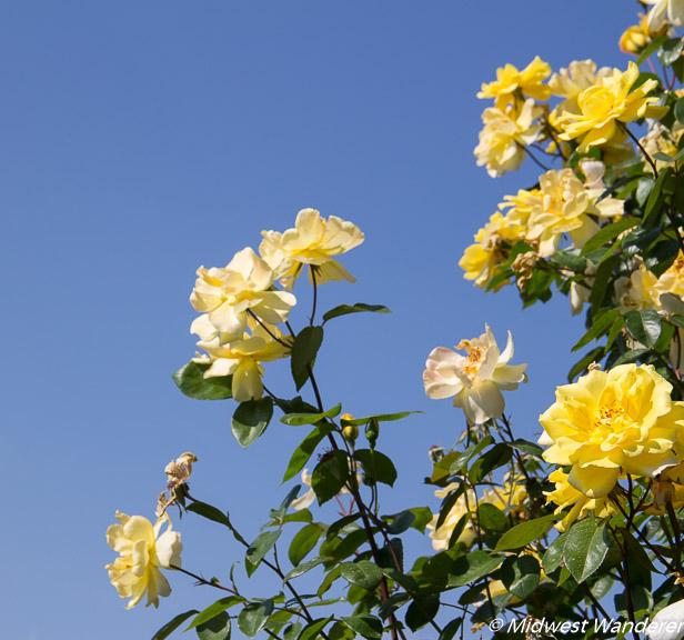 Hershey Gardens roses