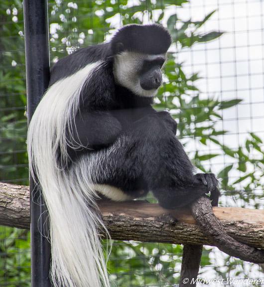 Eastern black and white colobus monkey