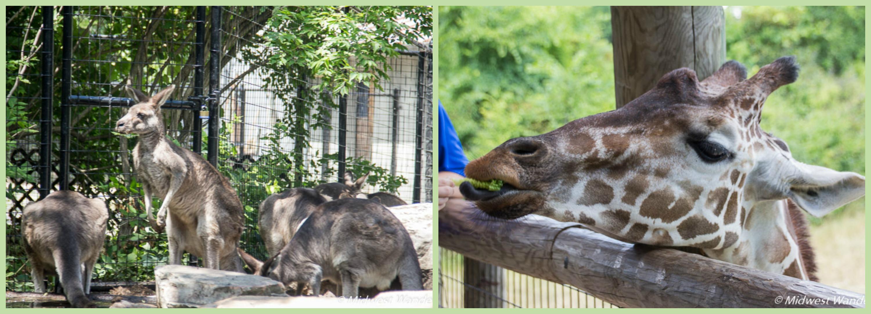 kangaroos-and-giraffe