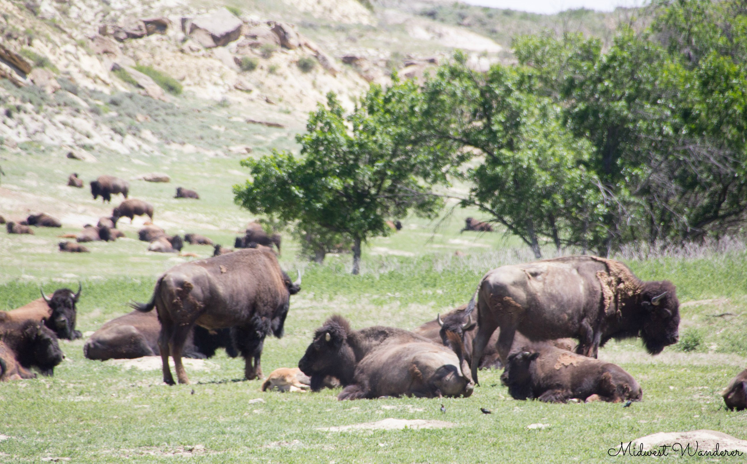 Theodore Roosevelt National Park - bison