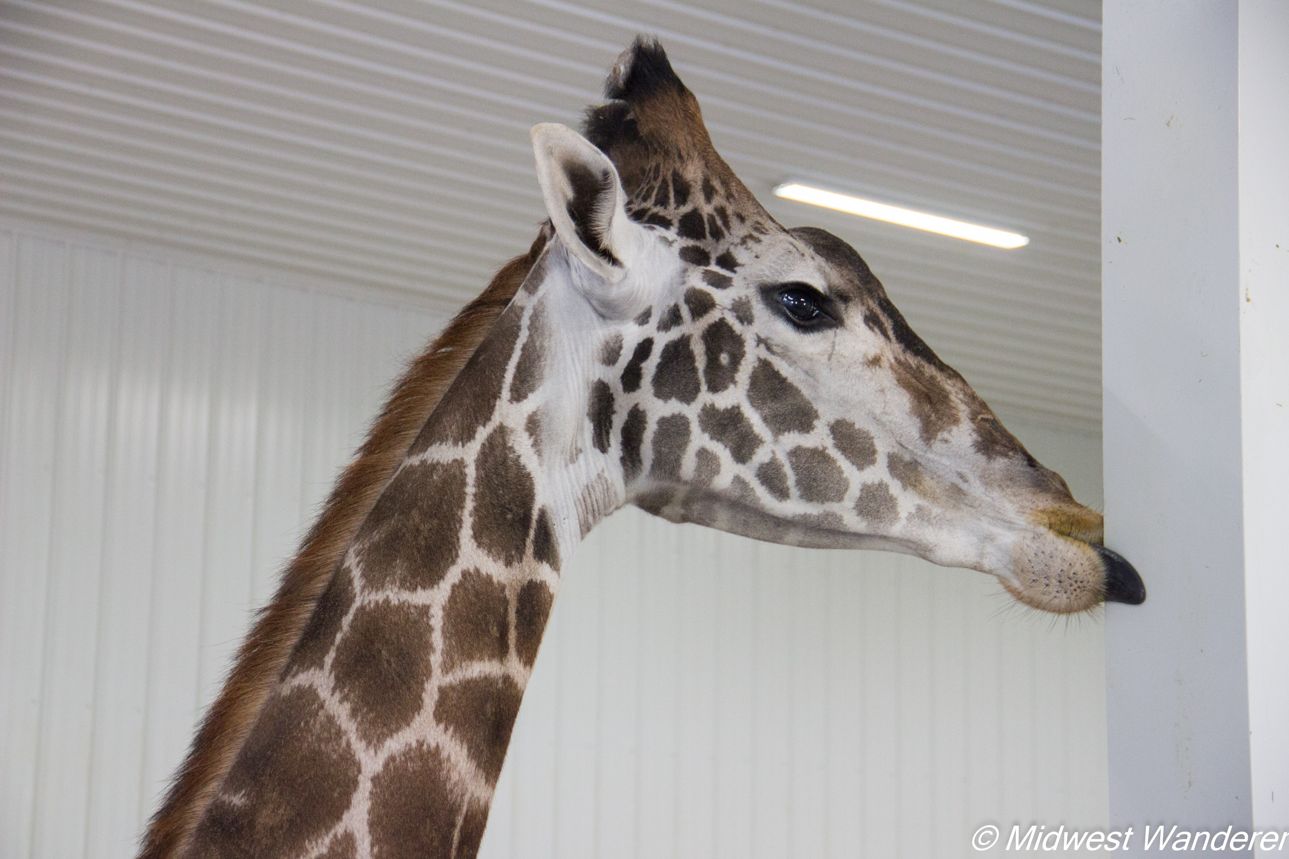 Wilstem Ranch Giraffe Encounter 1