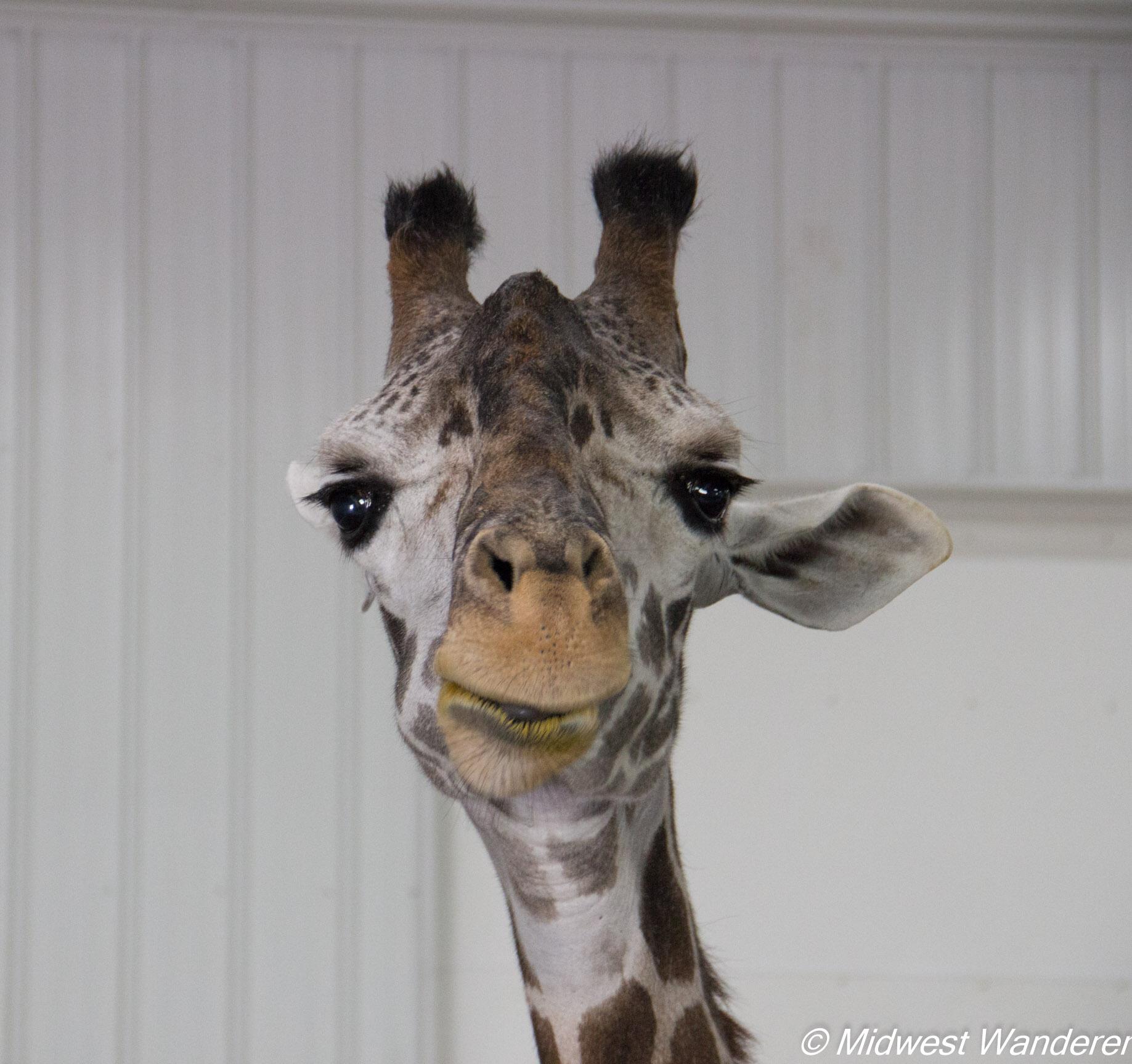 Wilstem Ranch Giraffe Encounter 2