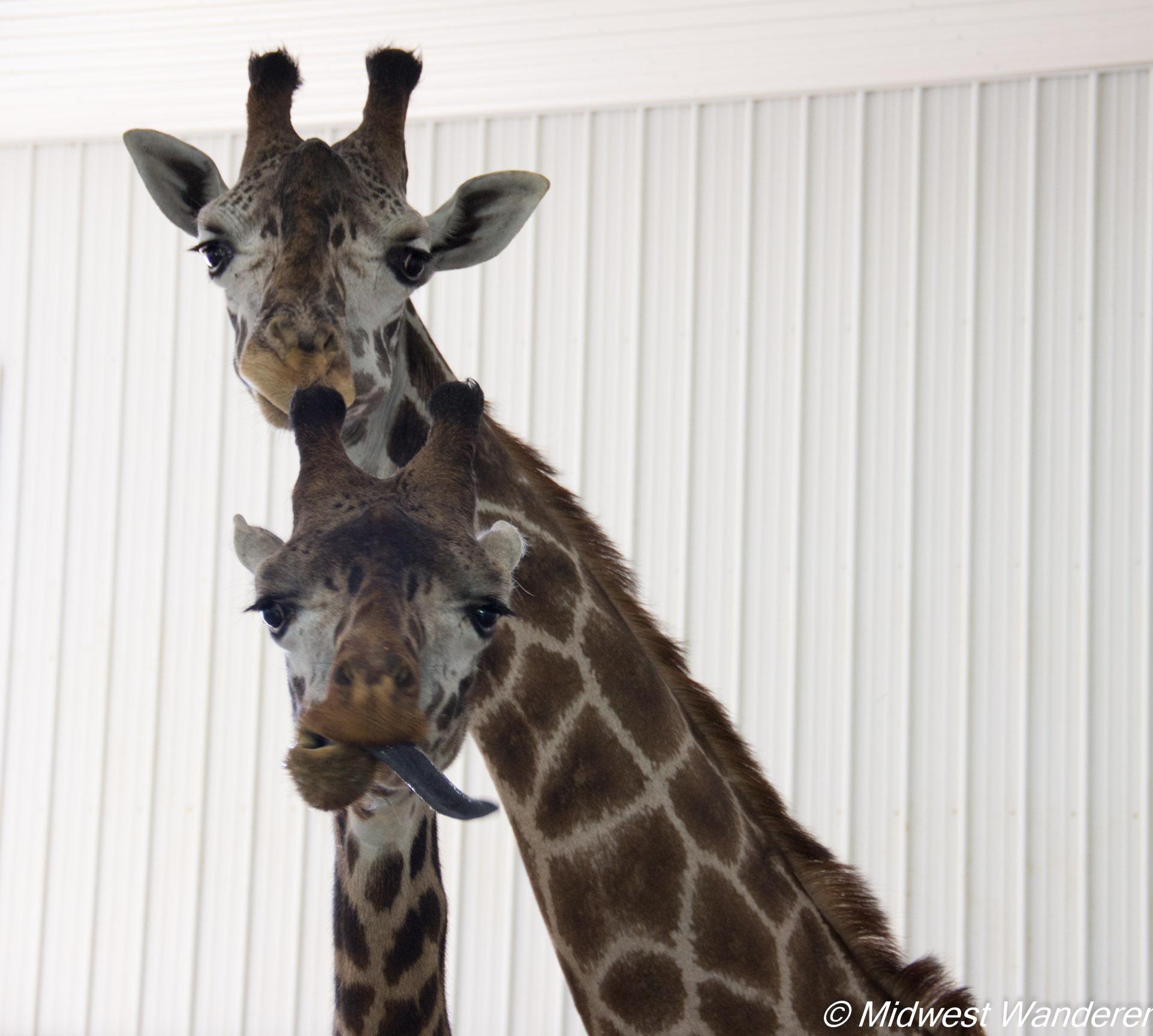 Wilstem Ranch Giraffe Encounter 7