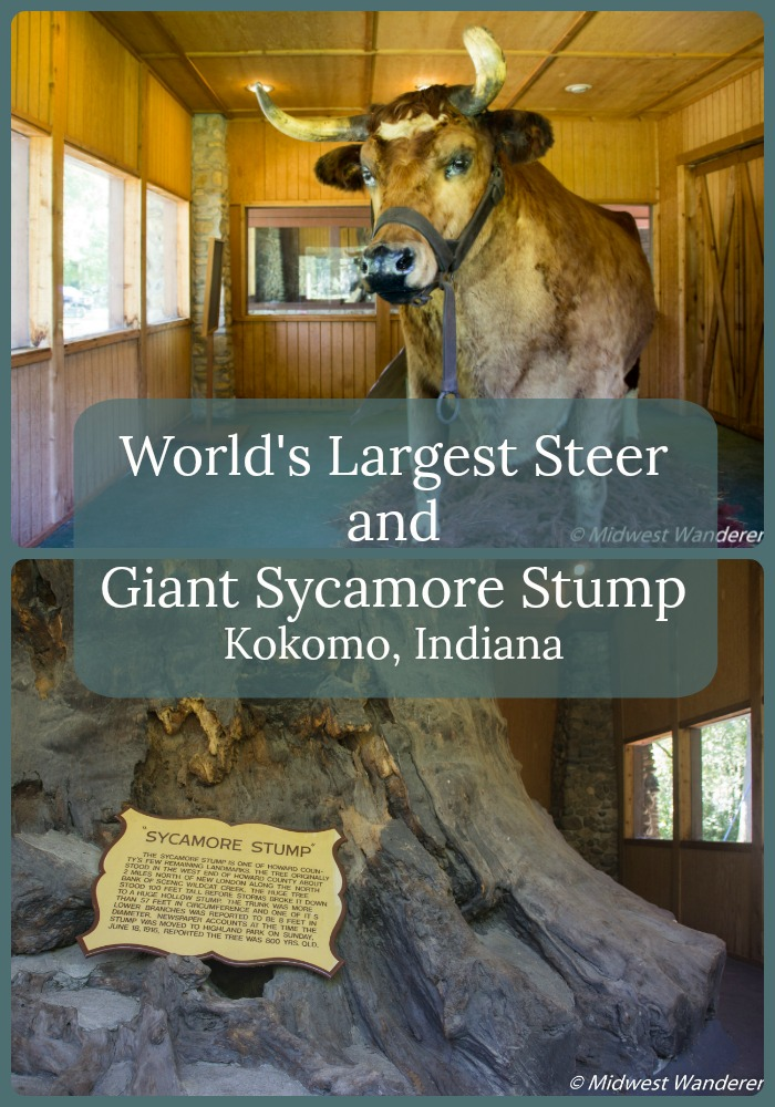 Worlds Largest Steer