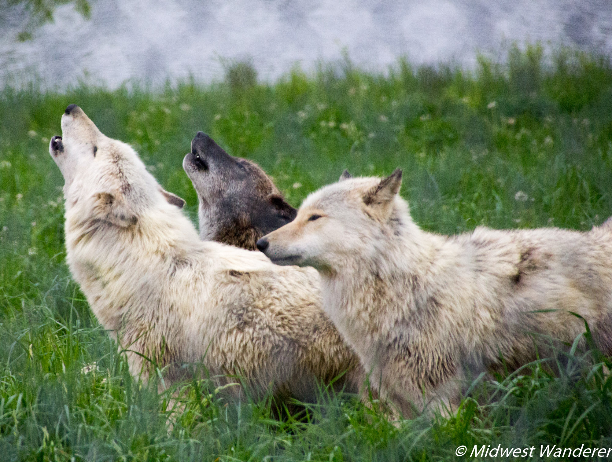 Wolf Park Howl Night 2