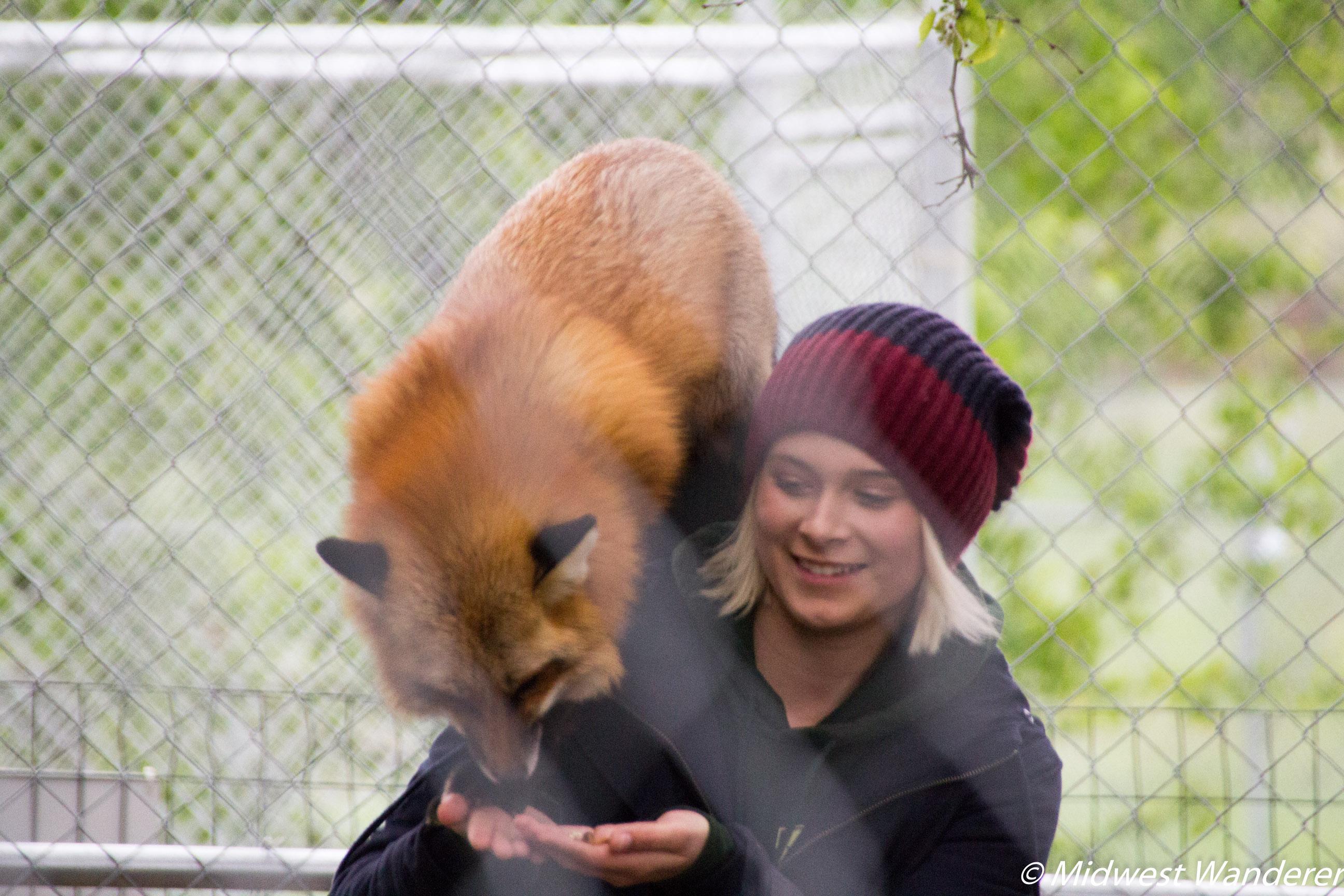 Wolf Park Fox Talks
