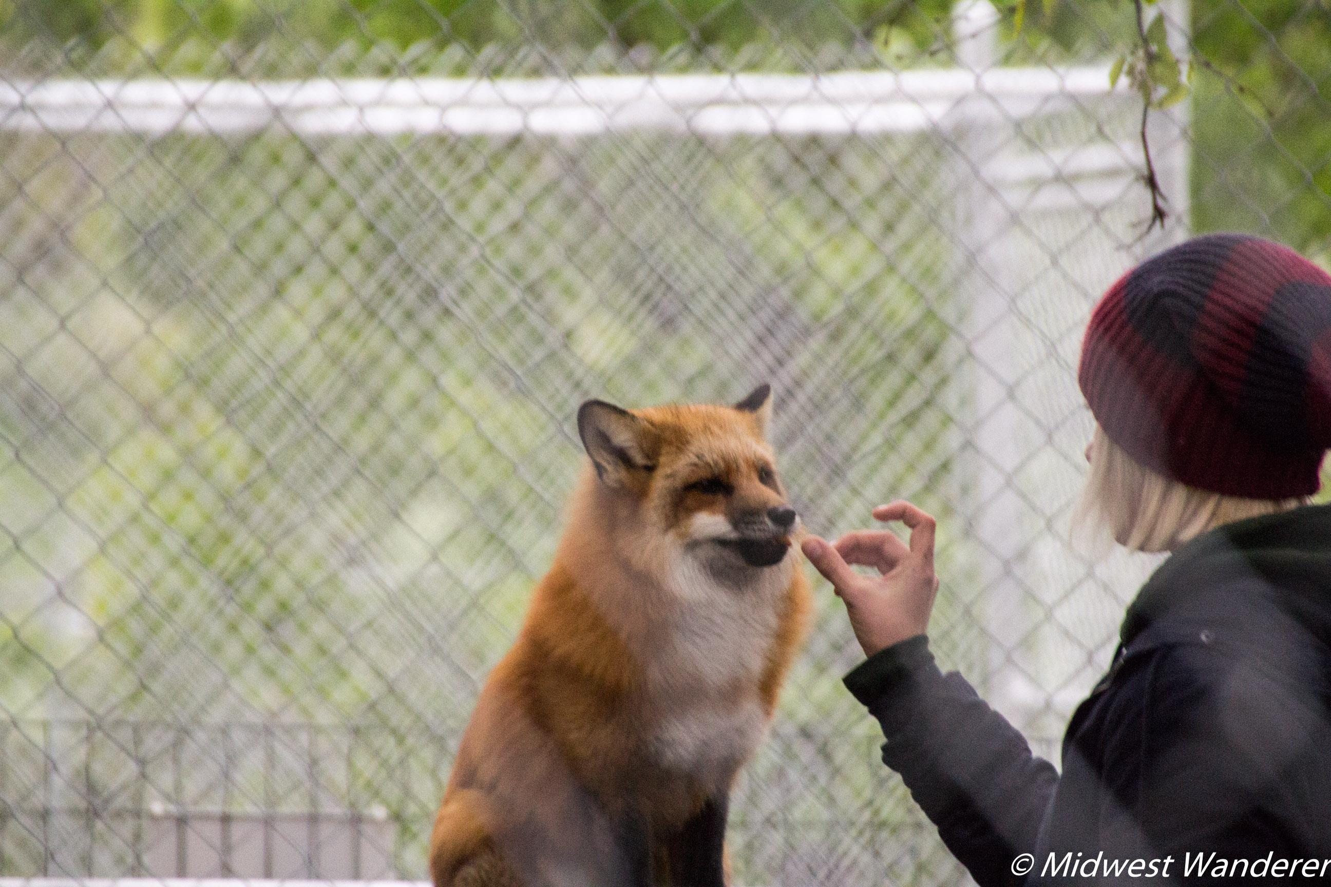 Wolf Park Fox Talks 2