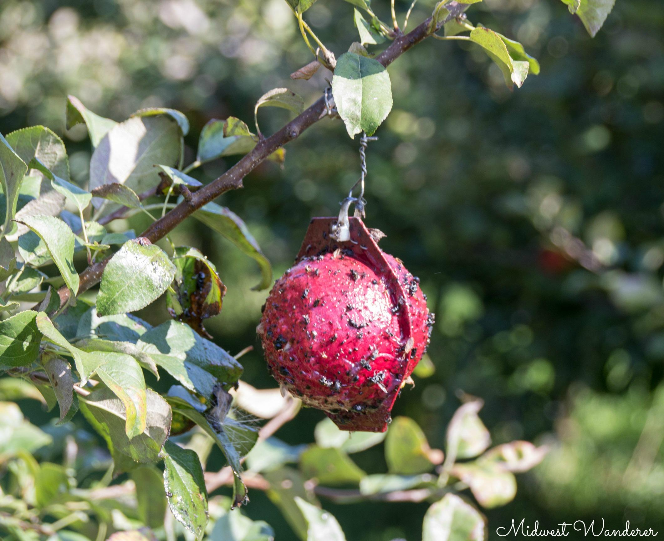 apple maggot fly trap
