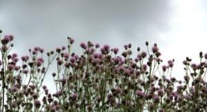 Sodalis_wildflowers_1