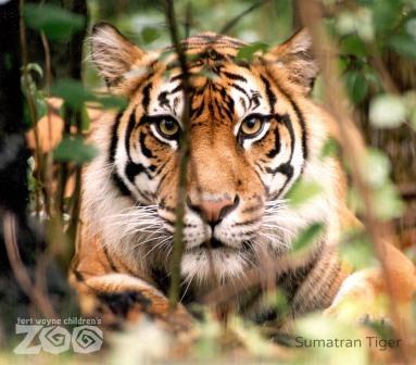 Fort-Wayne-Childrens-Zoo_Sumatran-Tiger