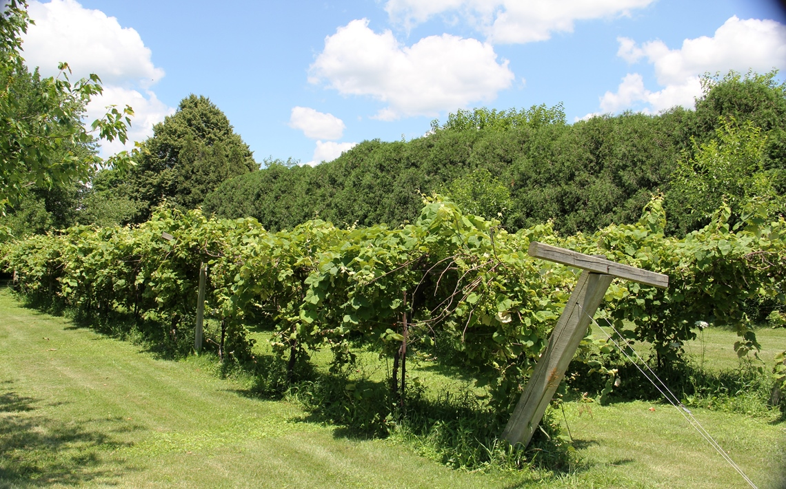 Alto vineyard. Wyldewood Cellars & Tasting Wine in Champaign County Illinois - Midwest Wanderer