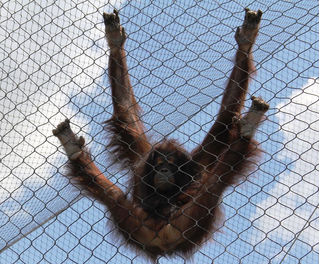 Orangutan at Henry Doorl Zoo