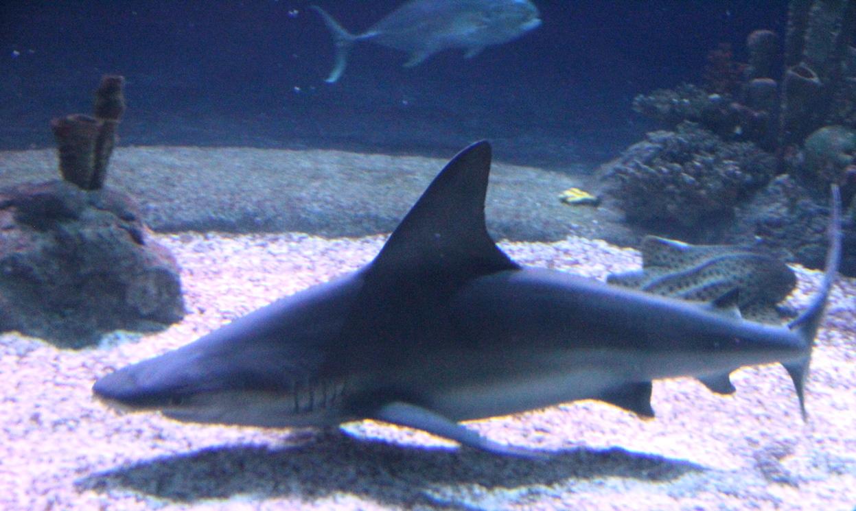 Shark in zoo aquarium