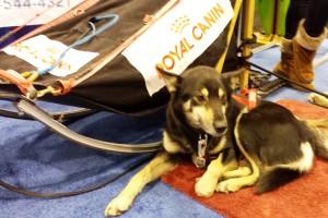 Alaskan sled dog