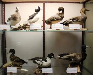 Taxidermied ducks