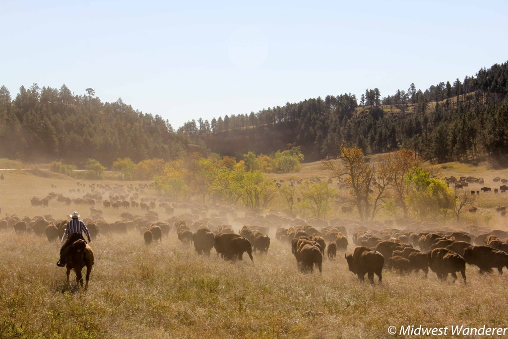 American Bison at Custer State Park