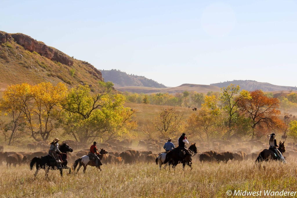 Rounding up the bison, Custer State Park