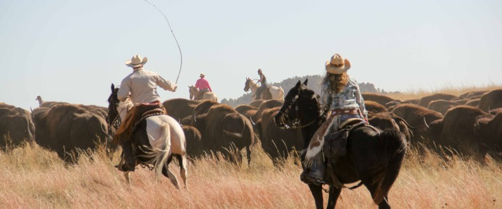 Custer State Park Buffalo Roundup: A Close-Up View