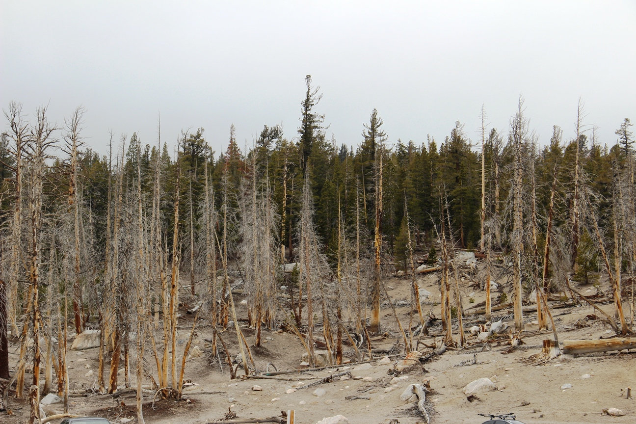 dead trees, mammoth lakes