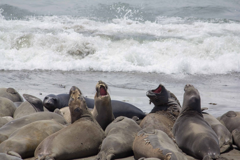elephant seals at oceanfront