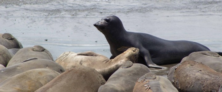 Viewing Elephant Seals near San Simeon