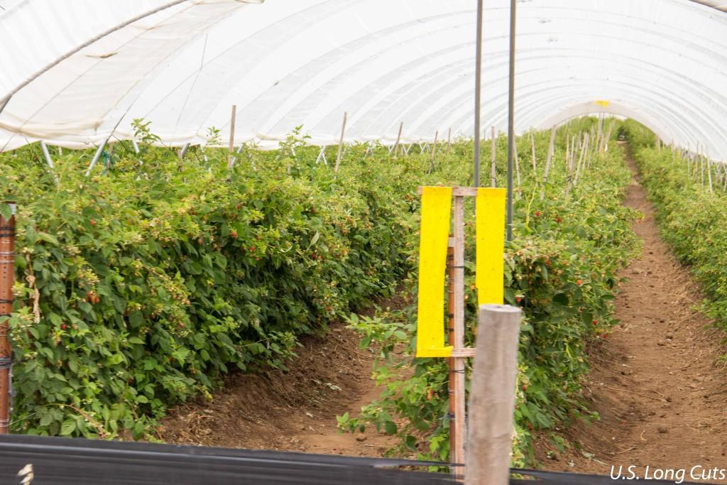Raspberry farm seen on Ag Venture Tours