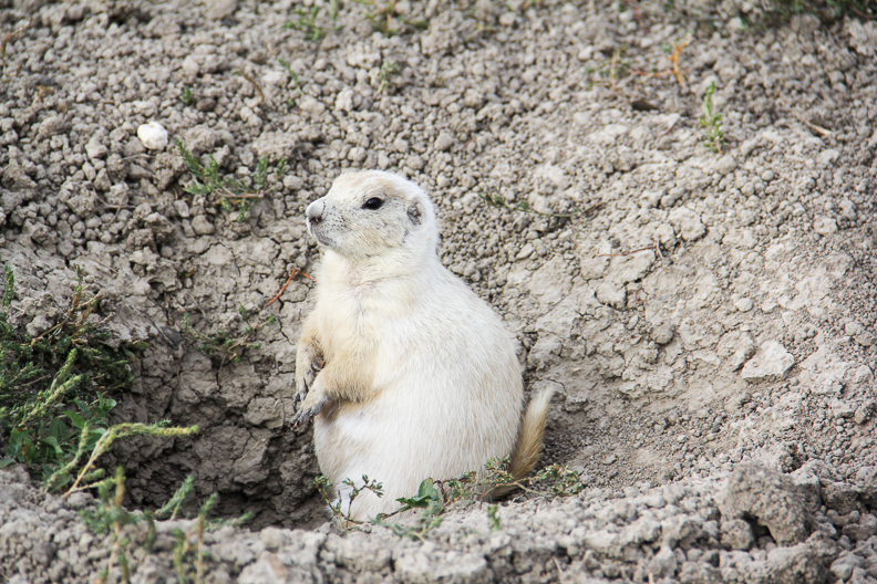 white prairie dog