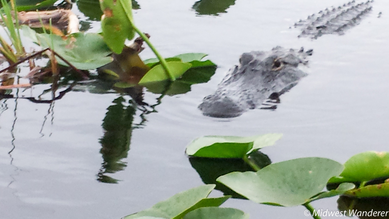 alligator in Everglades Holiday Park