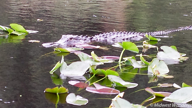 another alligator