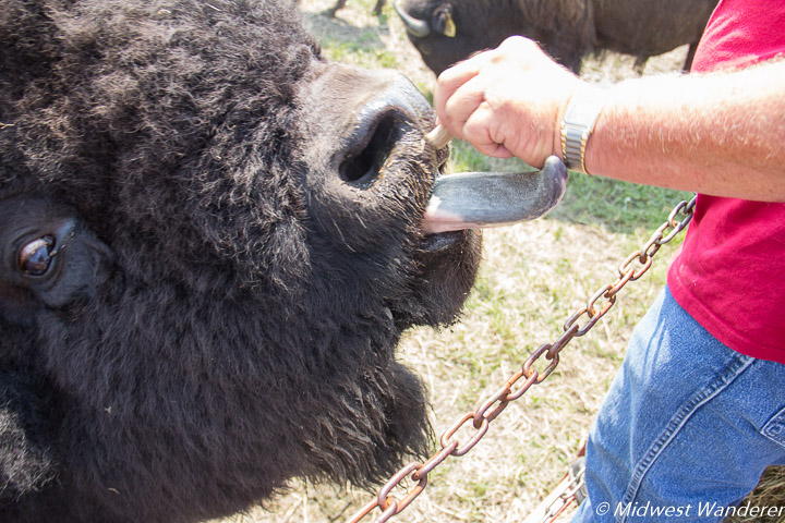 Feeding a bison at the Broken Wagon Bison Ranch