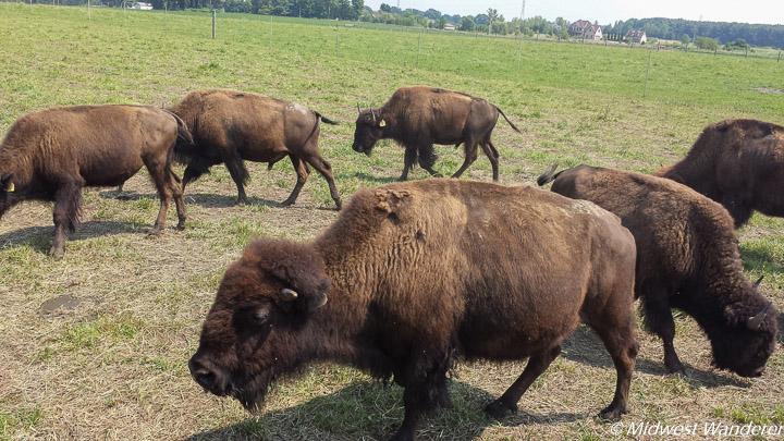Broken Wagon Bison Ranch bison
