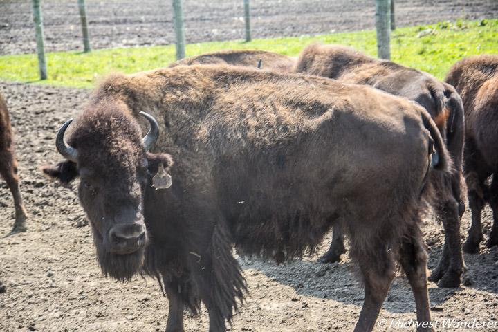 bison at Broken Wagon Bison Ranch