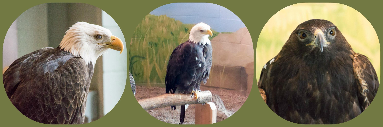 Eagles at National Eagle Center