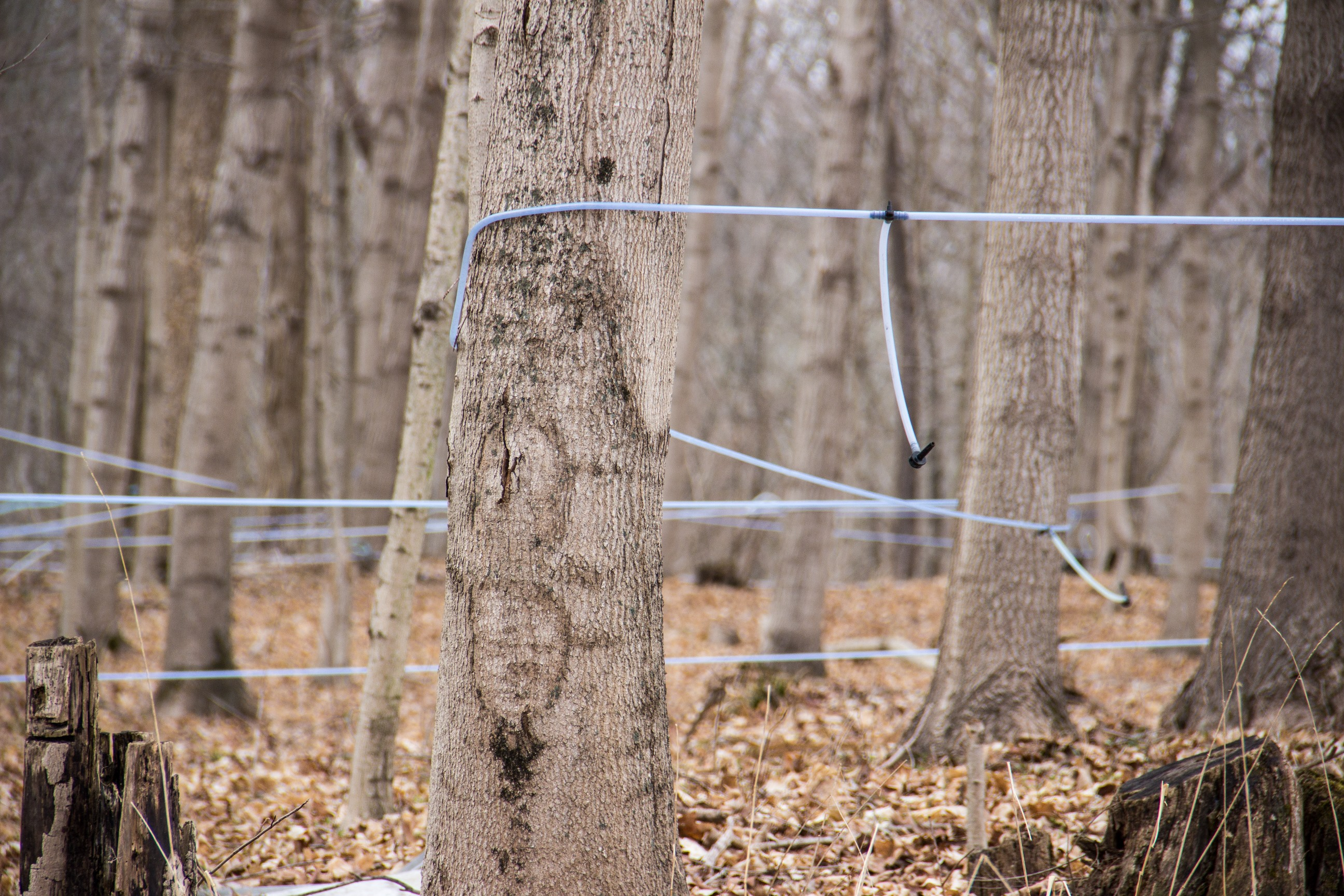 Plastic tubing used to collect maple sap