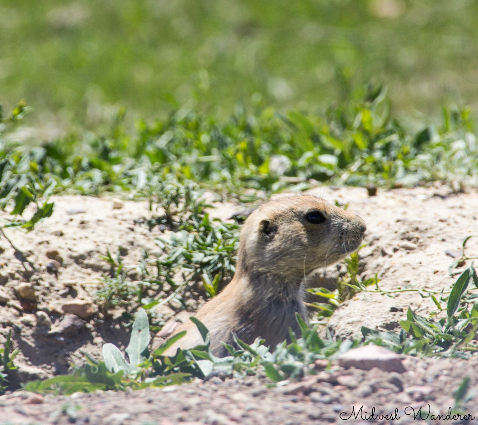 Theodore Roosevelt National Park - prairie dog