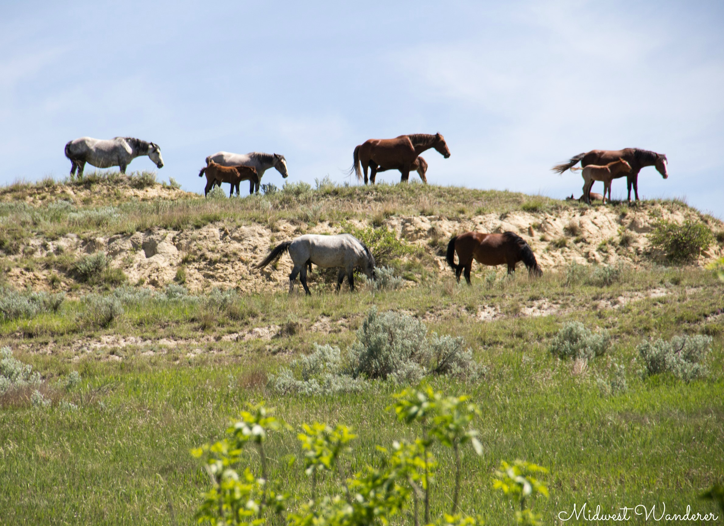 Theodore Roosevelt National Park - wild horses