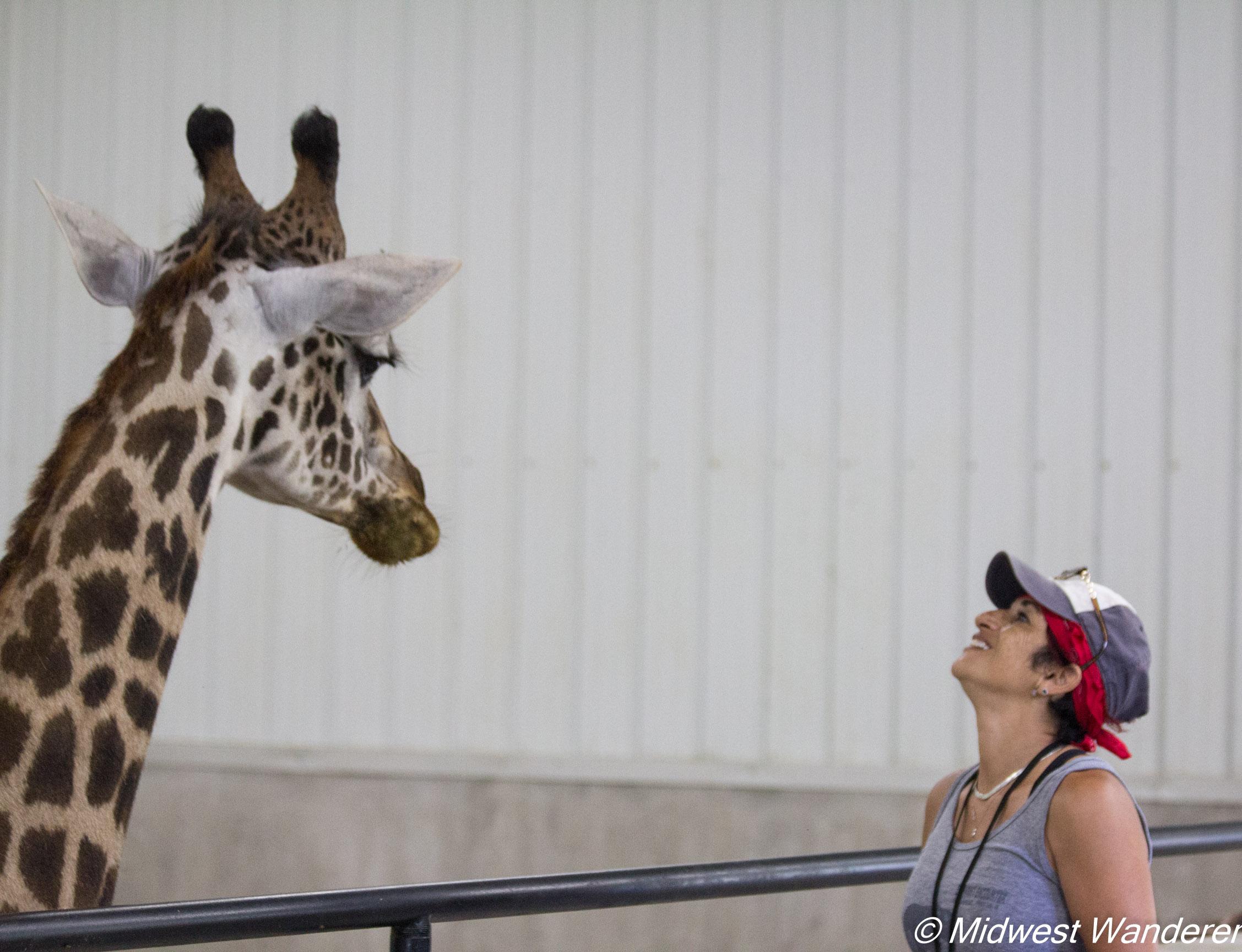 Wilstem Ranch Giraffe Encounter 3