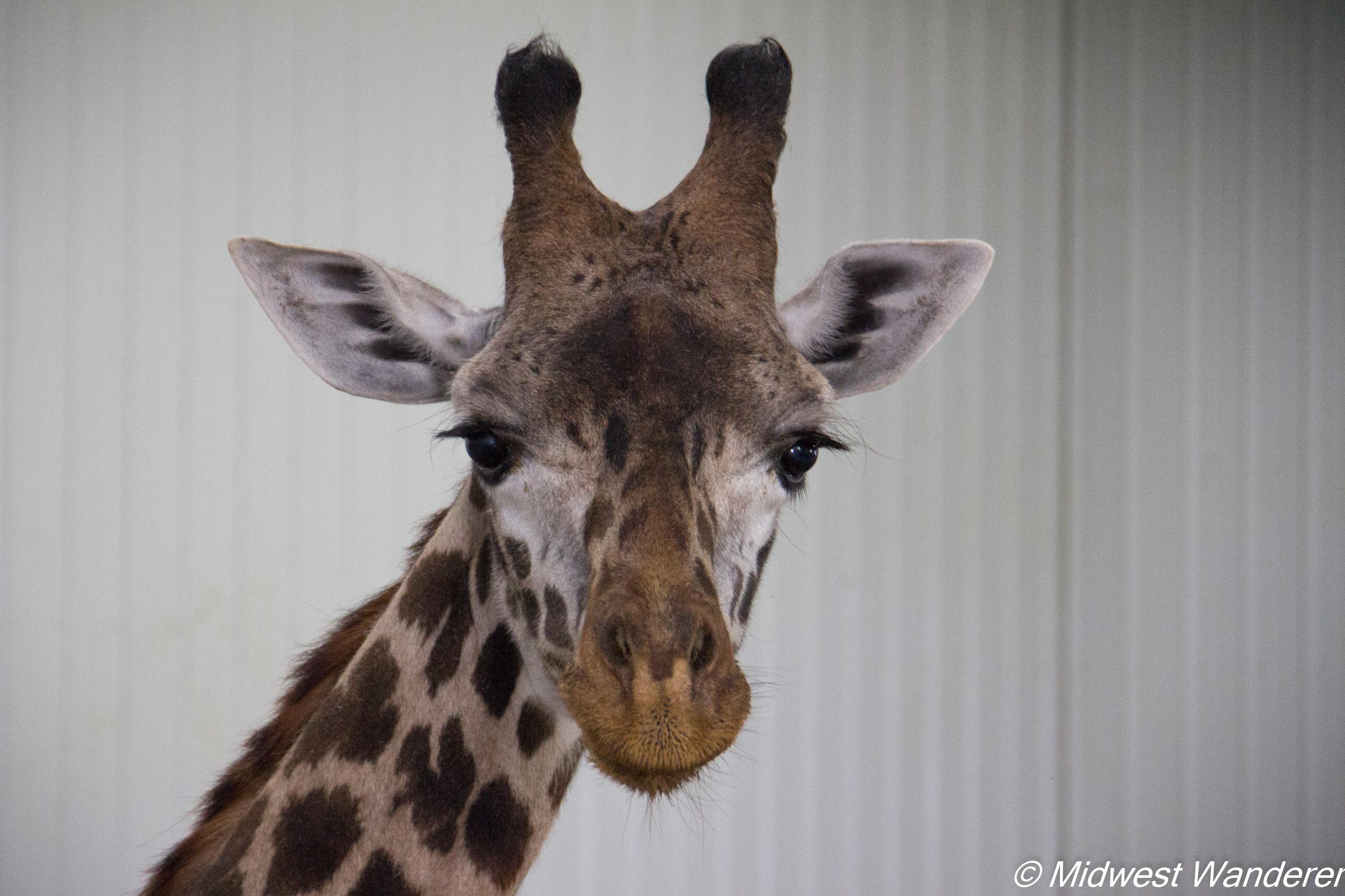 Wilstem Ranch Giraffe Encounter 4