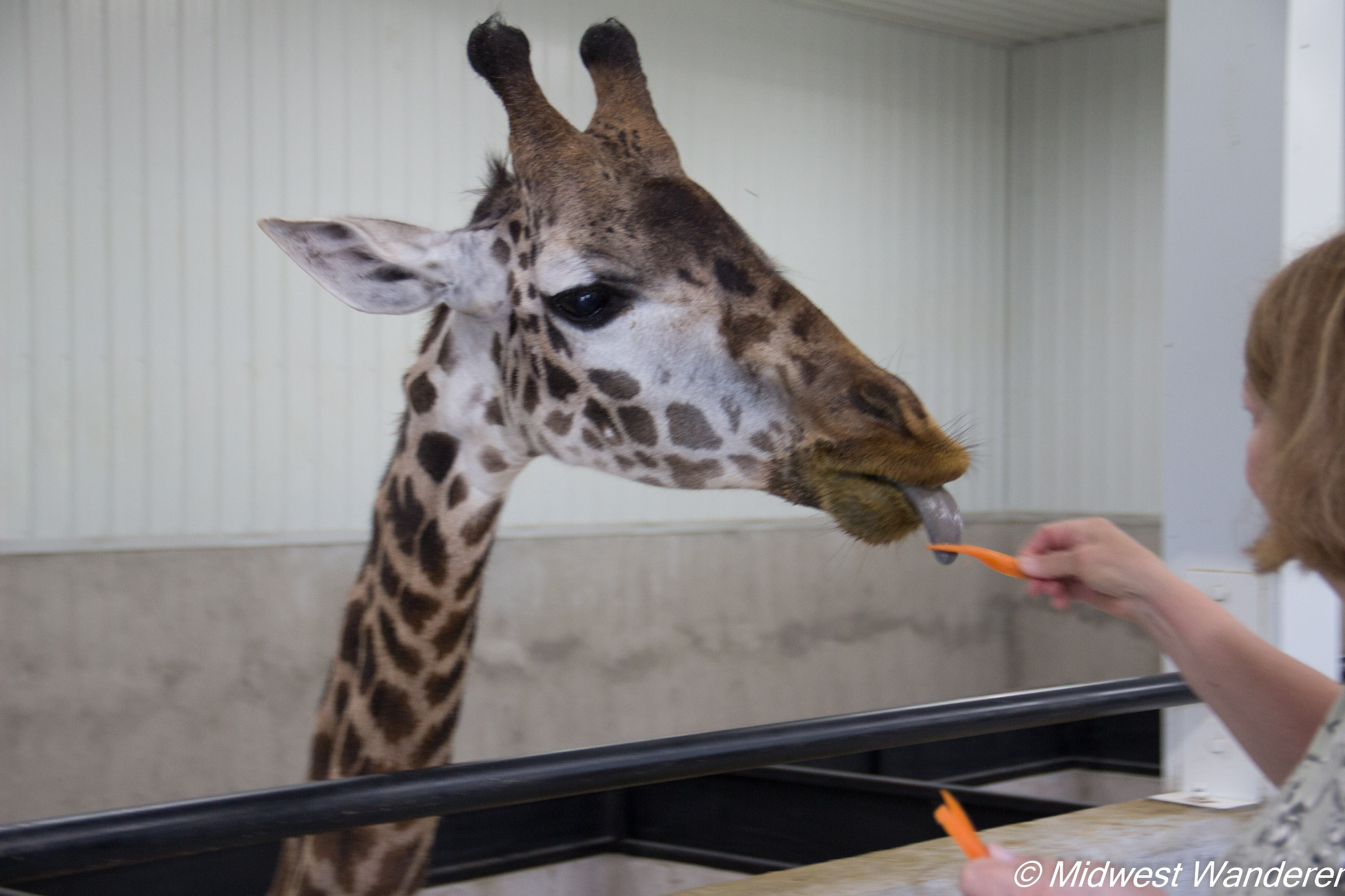 Wilstem Ranch Giraffe Encounter 6